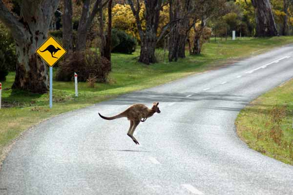 kangaroo-on-road